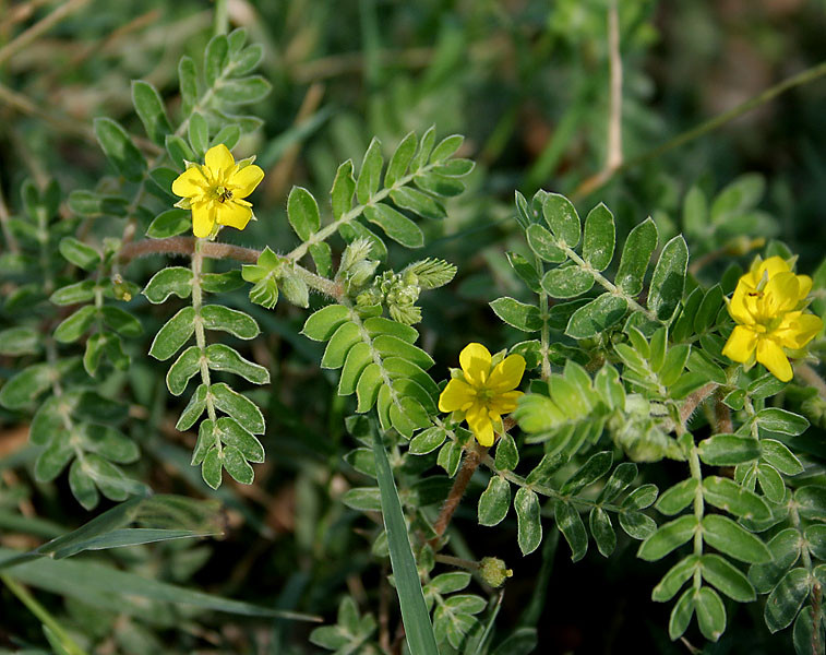 O que é tribulus terrestris? Para que ela serve?
